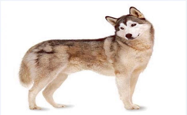 husky dog dwg file